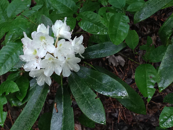 Rhododendron Maximum: Giant Of The Heath Family