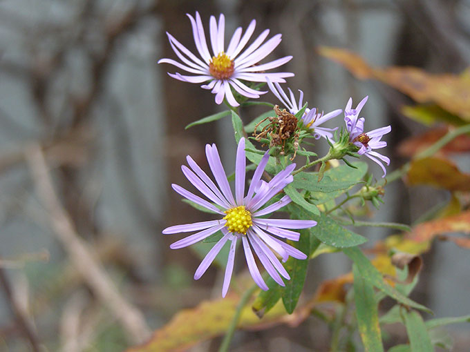 The Everlasting Aster
