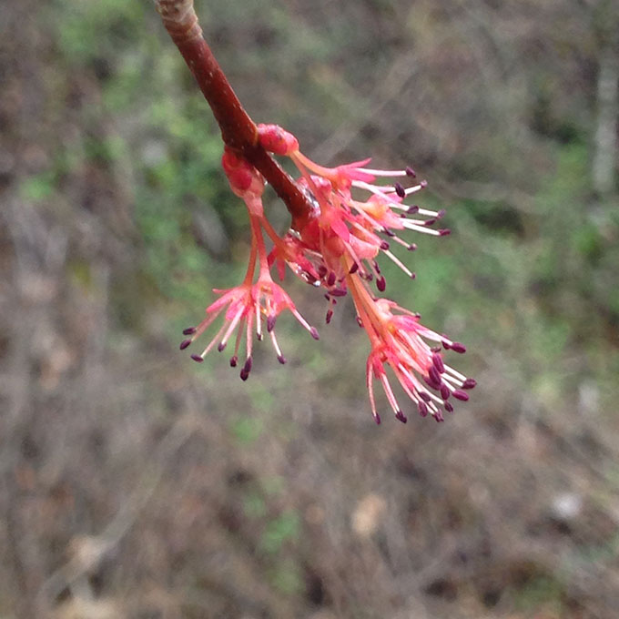 The Winter Wildflower Of The Red Maple
