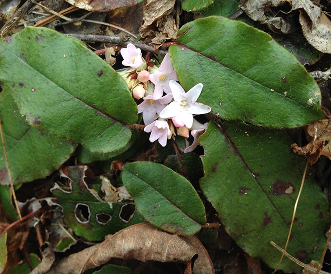 Trailing Arbutus: First Flower Of The Pilgrims